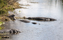Alligators in Everglades National Park Stock Photography