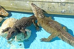 Alligators Stock Images