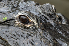 Alligators eye Stock Photos