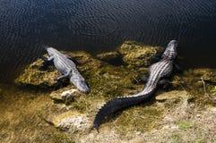 Alligators in Florida Stock Afbeeldingen