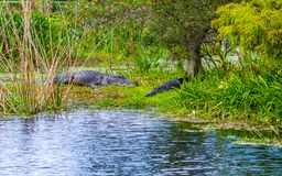 Alligators in a Florida Swamp Background. Scenic background of two Florida alligators sunning on an island in a wetland swamp stock photography