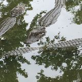 Alligators in het water Stock Fotografie