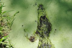 Alligators hiding in algae cover water Royalty Free Stock Image