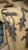 Alligators laids attendant à la poche sur vous Photographie stock libre de droits