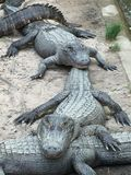 Alligators in Lijn Royalty-vrije Stock Foto