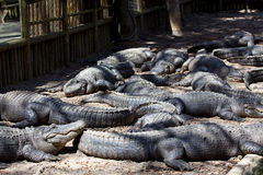 Alligators Lying in Alligator Pit. Twelve alligators (American alligator) lying in an alligator pit at a Florida reptile farm Royalty Free Stock Images