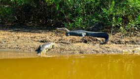 Alligators lying on a river bank in Amazonian pampas, Bolivia, South America Stock Photos