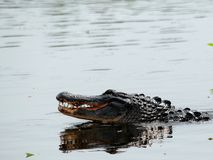 2 alligators mating in wetlands Royalty Free Stock Image