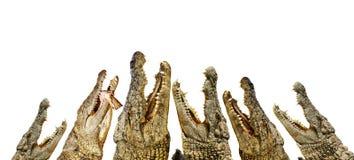 Alligators met open monden Stock Foto's