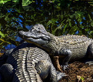 Alligators in the natural abitat Stock Photo