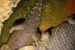 Alligators Stock Photo