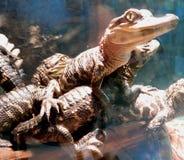 Alligators Royalty Free Stock Photo