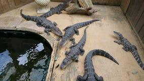 Alligators refroidissant par leur secteur de l'eau Photographie stock libre de droits