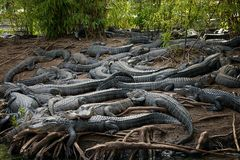 Alligators Stock Image