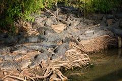 Alligators Stock Photography