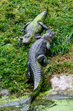Alligators resting Royalty Free Stock Image