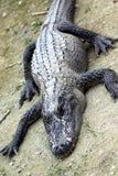 Alligators resting in mud Royalty Free Stock Image