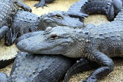Alligators resting in mud Royalty Free Stock Images