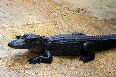 Alligators resting in mud Stock Photo