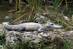 Alligators resting in mud Royalty Free Stock Photos