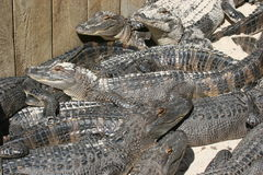 Alligators Royalty Free Stock Photography