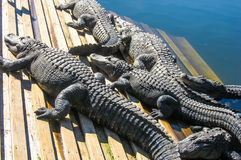 Alligators sunbathing on deck Stock Photography
