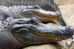 Alligators sunning themselves. A group of alligators sunning themselves during the cooler weather stock images