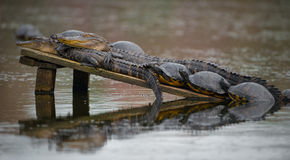 Alligators Sunning with Turtles Stock Photos