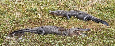 Alligators in Texas (Alligator mississippiensis) Stock Photography