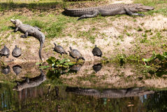 Alligators and Turtle Reflections Royalty Free Stock Photography