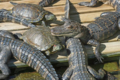 Alligators and turtles Royalty Free Stock Images