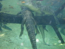 Alligators. In the water stock photography
