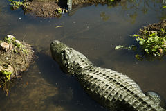 Alligators in in the water Stock Photos