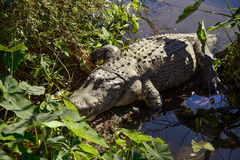 Alligators in in the water Royalty Free Stock Photos
