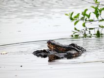 2 alligators in wetlands Stock Photos