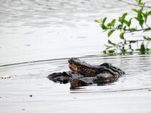 2 alligators in wetlands stock photos