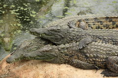 Alligators in a zoo, France Stock Images