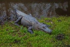 Alligatorsammanträde på gräset Royaltyfri Foto