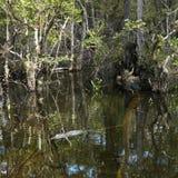 Alligatorschwimmen in den Florida-Sumpfgebieten. Stockbild