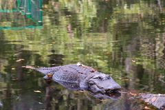 Alligatorschwimmen an der Oberfläche des Flusses lizenzfreies stockfoto