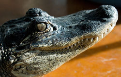 Alligatorseitliches Portrait #4 stockfotografie