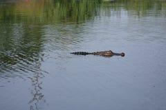 Alligatorsimning i flodarmen Fotografering för Bildbyråer