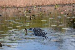 Alligatorsimning i vattnet Arkivfoton