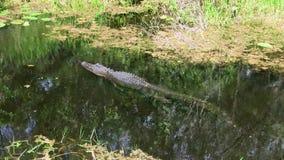 Alligatorsimning till och med träsk i evergladesna i Florida arkivfilmer