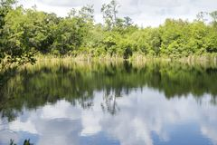 Alligatorsjön på den sex reserven för milcypressträsk i Ft Myers Florida Arkivbild