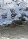 Alligatorspeisenraserei stockbild