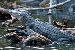 Alligatorstillstehender Kopf lizenzfreie stockfotografie