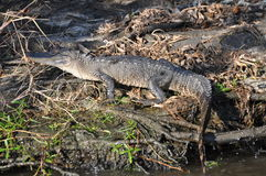 Alligatorsumpf Stockfoto