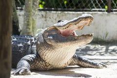 Alligatorsumpfgebiete Stockbild