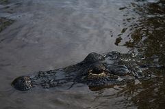 Alliigator. Alligator in the everglades looking for food or checking the photographer out Stock Photos